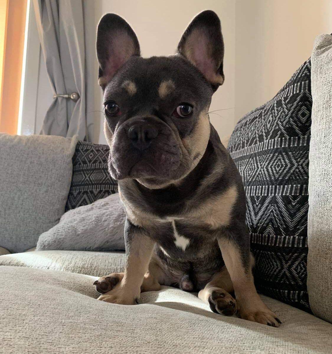 Rocko the French Bulldog